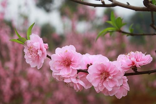 Những lợi ích sức khỏe không tưởng từ cây đào ngày Tết